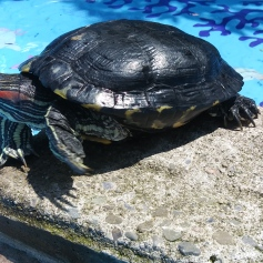 Franklin visited my basking pool one sunny afternoon. He had a blast!