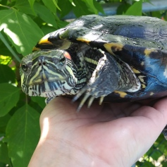 Franklin being the coolest turtle ever