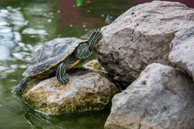 water animal stones turtle